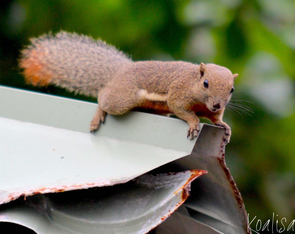 ecureuil-1