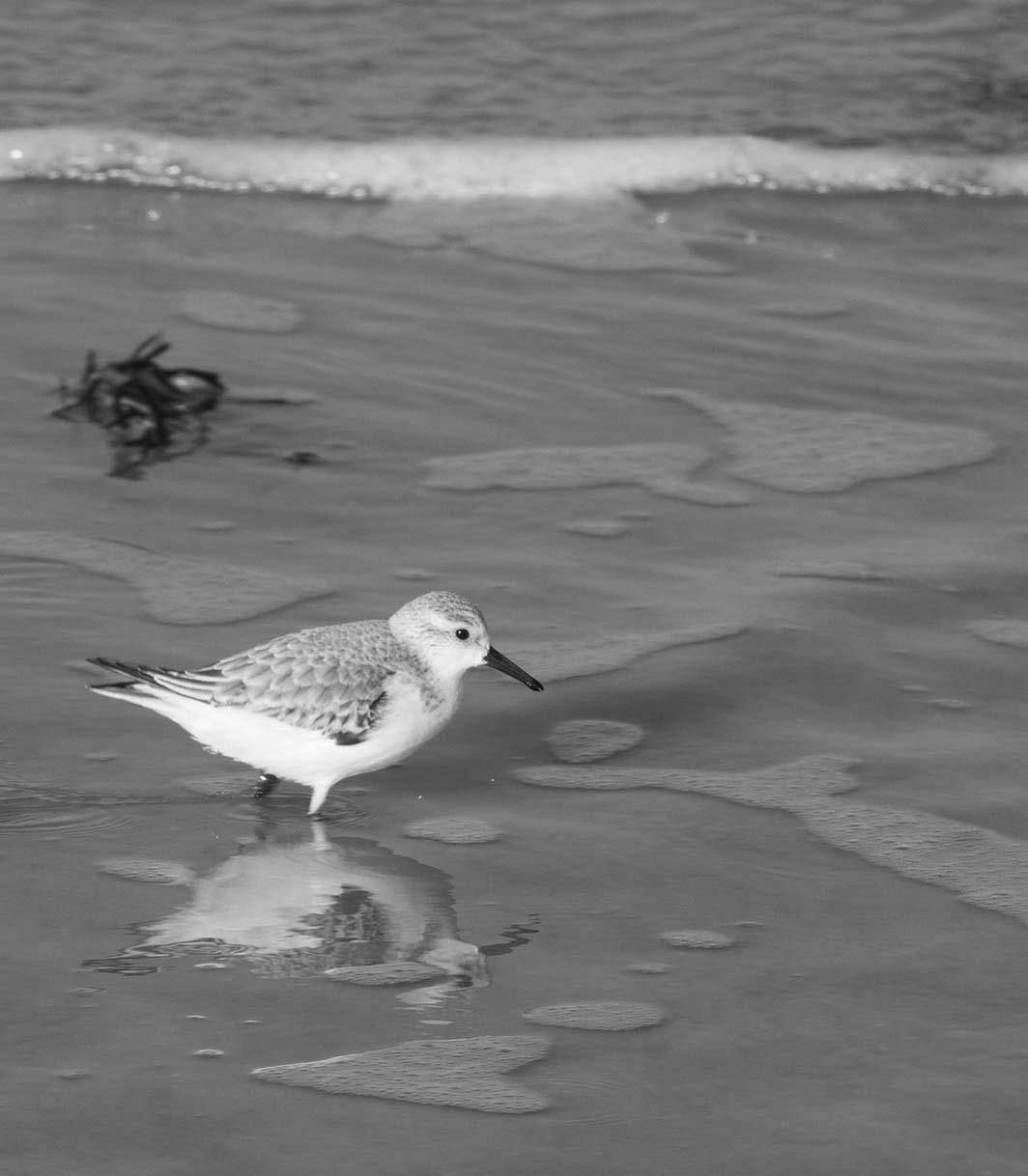 Des Sanderling à Lancieux