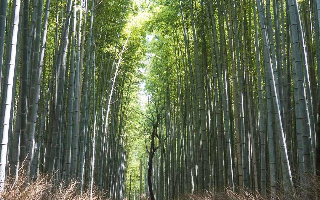 La forêt de bambous de Sagano à Arashiyama