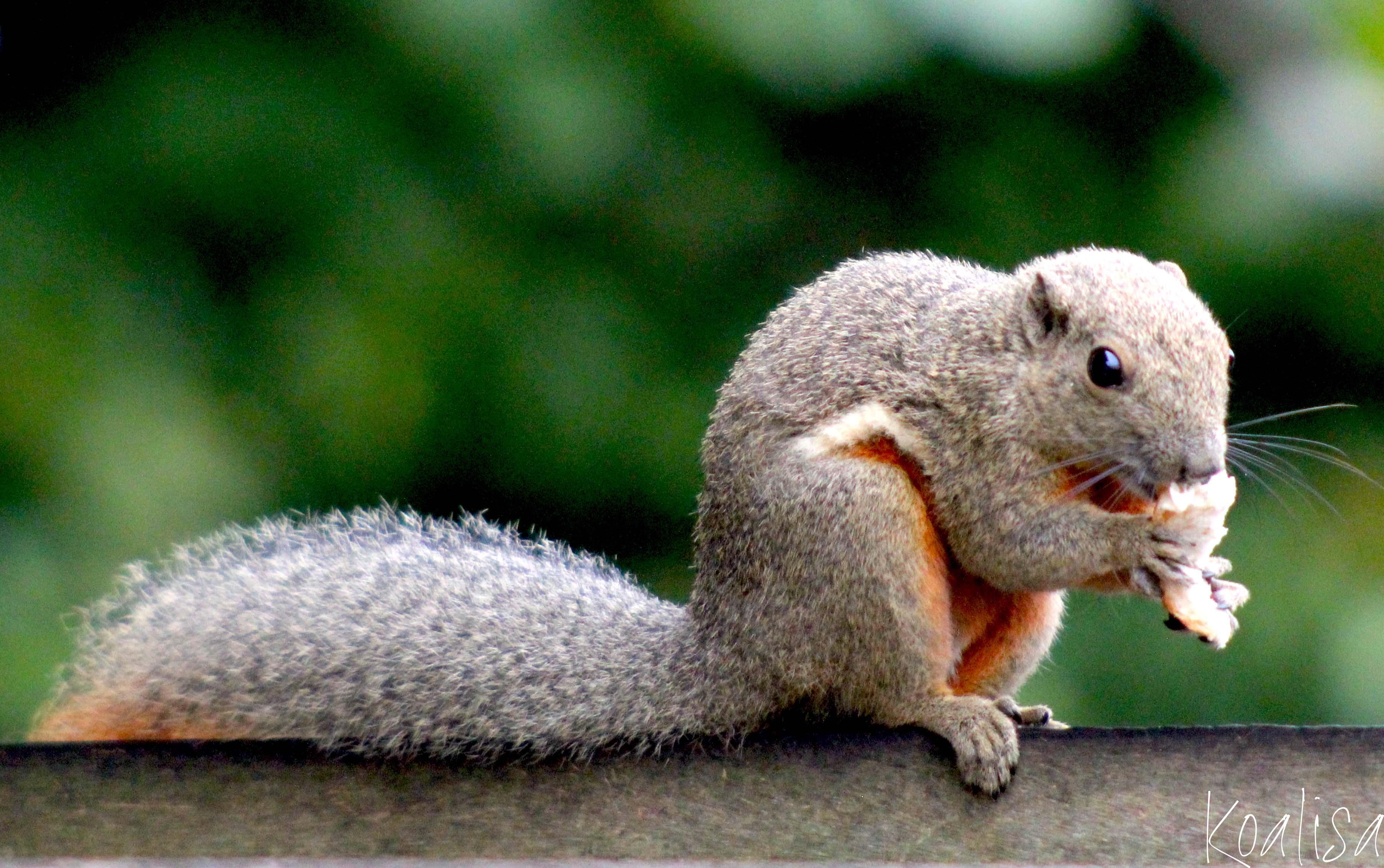 Ecureuils de Malaisie